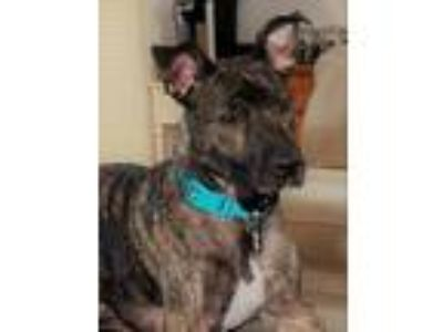 Adopt Puck a Brindle Dutch Shepherd / Boxer / Mixed dog in Fort Wayne