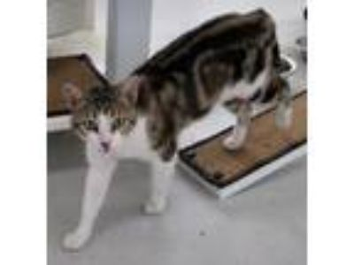 Adopt Chris a Domestic Short Hair