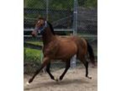Yearling AQHA Race Bred Filly Bomb Shell Beddy