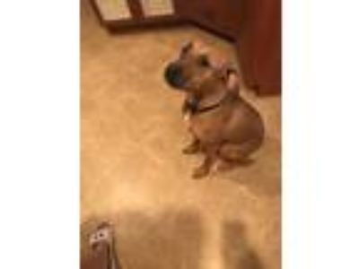 Adopt Theo a Tan/Yellow/Fawn - with White Black Mouth Cur dog in Cape Coral