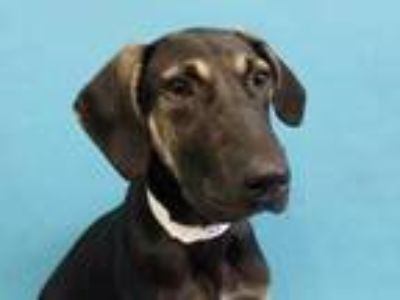 Adopt Dot a Black Coonhound / Mixed dog in Golden Valley, MN (25655446)