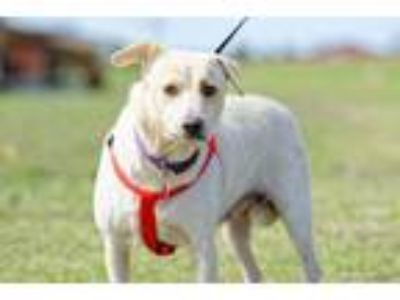 Adopt Esther a Australian Shepherd, Yellow Labrador Retriever