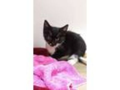 Adopt Johnny a All Black Domestic Shorthair / Mixed cat in Land O'Lakes