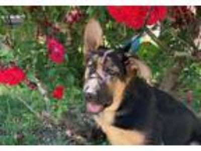 Adopt Jolie a German Shepherd Dog