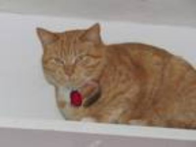 Adopt London a Orange or Red Tabby Domestic Shorthair (short coat) cat in