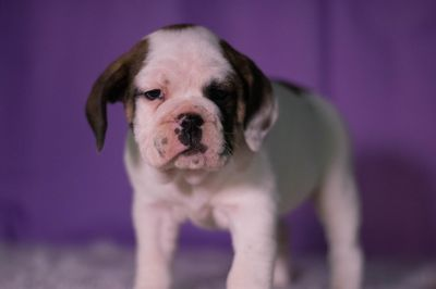 Beabull PUPPY FOR SALE ADN-64621 - Lilly