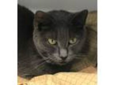 Adopt Spooky a Gray or Blue Russian Blue / Mixed (short coat) cat in oakland