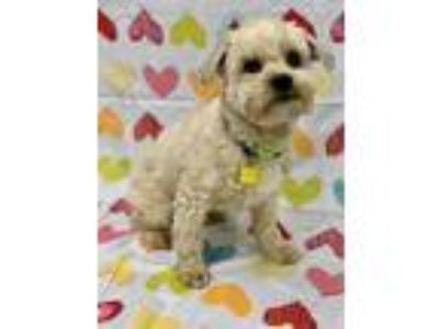 Adopt Rockwell a White Poodle (Miniature) / Mixed dog in Redding, CA (25521355)