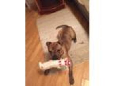 Adopt Hank Lee a Brindle - with White Boxer / Staffordshire Bull Terrier / Mixed