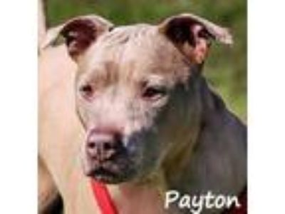 Adopt PAYTON a Tan/Yellow/Fawn Terrier (Unknown Type, Small) / Mixed dog in Palm