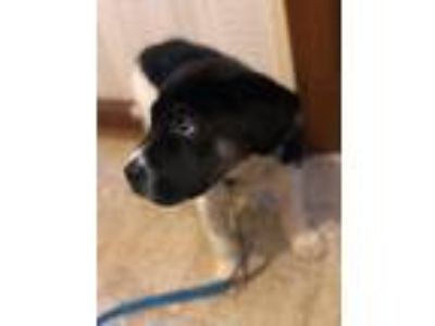 Adopt Leo a Black - with White Border Collie / Jack Russell Terrier dog in Stone