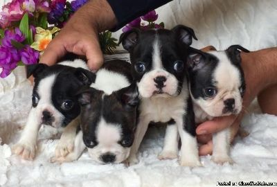 Outstanding Boston Terrier Puppies Health Tested