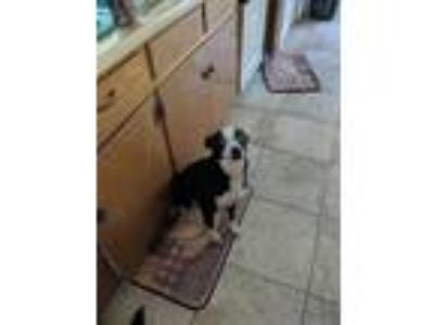 Adopt Toby a Black - with White Terrier (Unknown Type, Small) / Mixed dog in