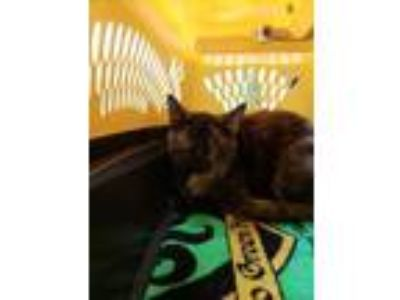 Adopt Cider a All Black Domestic Shorthair / Domestic Shorthair / Mixed cat in