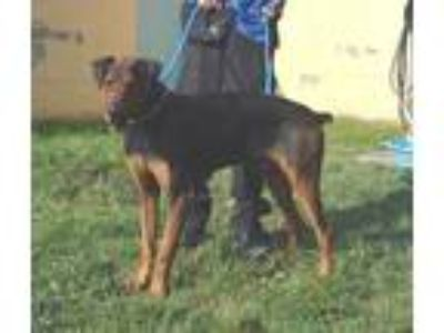 Adopt RUGER a Tan/Yellow/Fawn - with Black Doberman Pinscher / Labrador