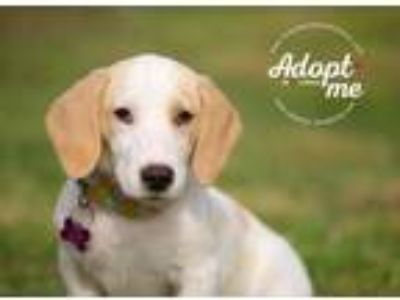 Adopt Ally a White - with Tan, Yellow or Fawn Basset Hound / Beagle / Mixed dog