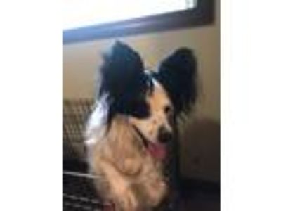Adopt Cosmo a Black - with White Papillon / Mixed dog in Sweet Springs