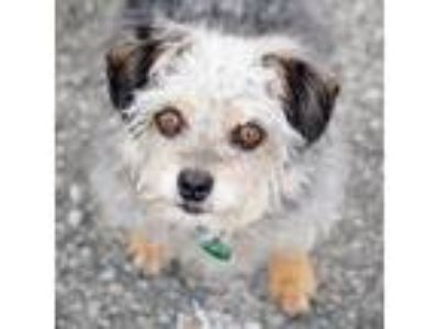 Adopt CLANCY a Yorkshire Terrier, Poodle