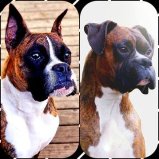 Boxer PUPPY FOR SALE ADN-77759 - AKC REGISTERED BOXER PUPS