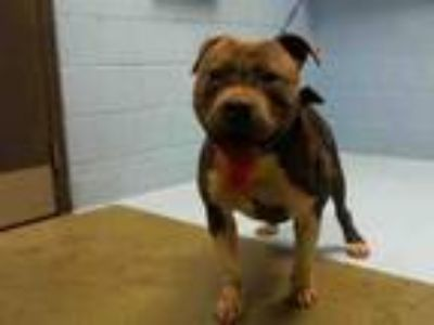 Adopt A496468 a Staffordshire Bull Terrier, Mixed Breed
