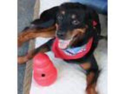 Adopt Adorable Millie a Rottweiler
