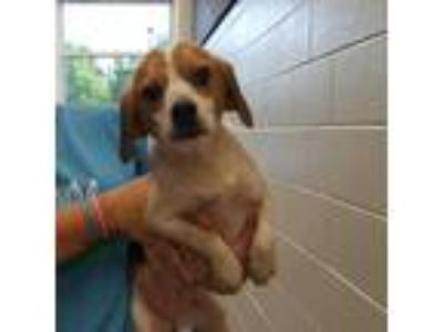 Adopt Trixie a Tan/Yellow/Fawn Beagle dog in Chatham, VA (25640290)