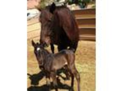 Imported lusitano mare in foalfrom France