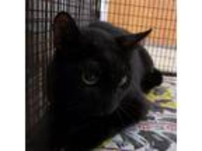 Adopt HSOY-Stray-hs1095 a All Black Domestic Shorthair cat in Yuma