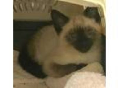 Adopt Available Working Cat 'Thomasina' a Brown or Chocolate Siamese / Domestic