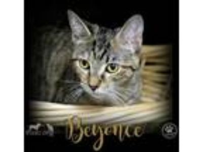 Adopt Beyonce a All Black Domestic Shorthair / Domestic Shorthair / Mixed cat in