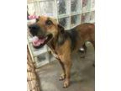 Adopt Hester a Red/Golden/Orange/Chestnut Hound (Unknown Type) / Mixed dog in