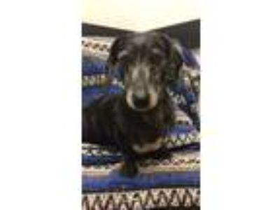Adopt Camo a Black Dachshund / Mixed dog in Weston, FL (23312311)