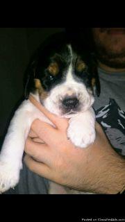 Blue tick beagle puppies