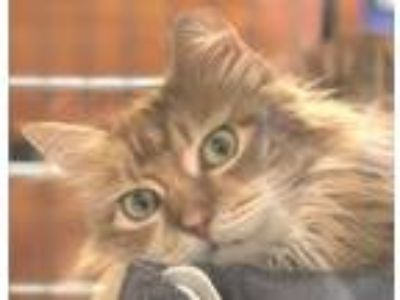 Adopt Fancypants a Orange or Red (Mostly) Domestic Longhair / Mixed (long coat)