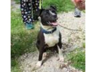 Adopt Mick a Pit Bull Terrier, Mixed Breed