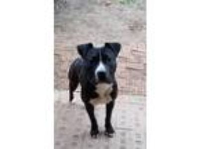 Adopt Wicket a Black - with White Pit Bull Terrier / Mixed dog in Gates Mills