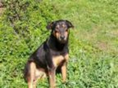Adopt Brody a Shepherd