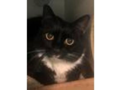 Adopt Pandora a Domestic Shorthair / Mixed (short coat) cat in Brooklyn