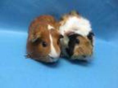 Adopt Han a Brown or Chocolate Guinea Pig / Mixed small animal in Coon Rapids