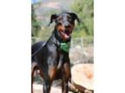 Adopt Vinny a Black - with Tan, Yellow or Fawn Doberman Pinscher / Mixed dog in