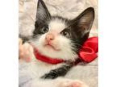 Adopt BAHAMA a Black & White or Tuxedo Domestic Shorthair (short coat) cat in