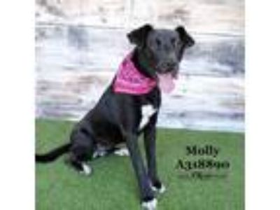 Adopt MOLLY a Black Labrador Retriever / Mixed dog in Conroe, TX (25309513)