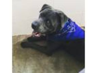 Adopt Buck a Gray/Blue/Silver/Salt & Pepper Labrador Retriever / Chow Chow /