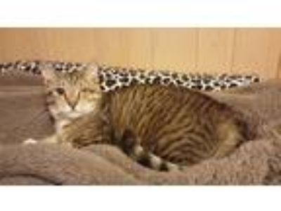 Adopt Handsome a Brown Tabby Domestic Shorthair (short coat) cat in Parkton