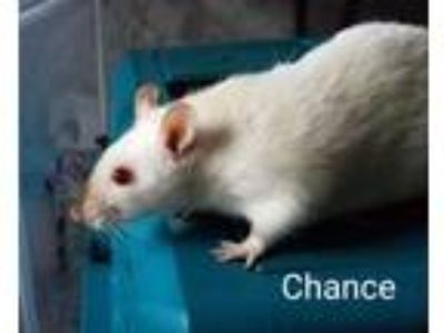 Adopt Chance, Hope, & Faith a Rat