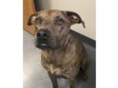 Adopt Ziggy-Available for a Meet and Greet! a Catahoula Leopard Dog
