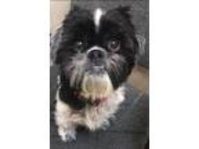 Adopt Lucy a Black - with White Shih Tzu / Mixed dog in Chesterfield