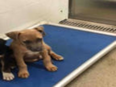 Adopt BARON a Tan/Yellow/Fawn - with White American Pit Bull Terrier / Mixed dog