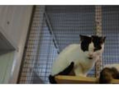 Adopt Kiwi a Black & White or Tuxedo Domestic Shorthair (short coat) cat in
