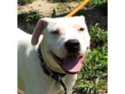Adopt College a White Boxer / Mixed dog in Newberry, SC (25908622)